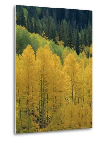Yellow Aspens, Colorado, USA-Jean Brooks-Metal Print