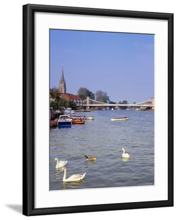 Swans on the River Thames with Suspension Bridge in the Background, England, UK-Charles Bowman-Framed Photographic Print