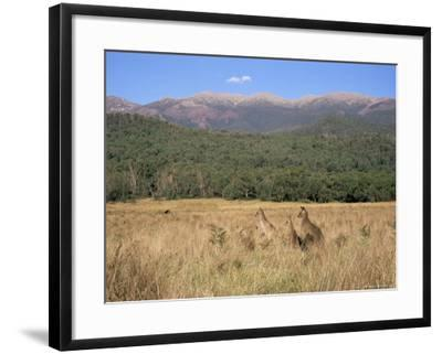Eastern Grey Kangaroos, New South Wales, Australia, Pacific-Jochen Schlenker-Framed Photographic Print