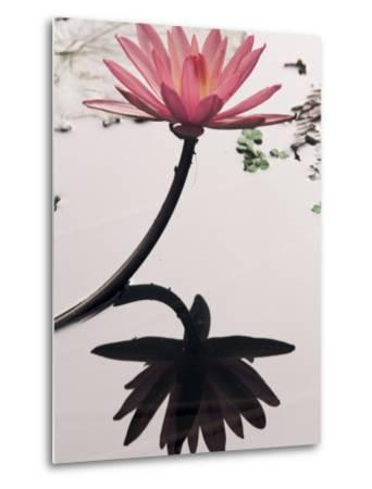 Lotus Flower, Luang Prabang, Laos, Indochina, Southeast Asia, Asia-Colin Brynn-Metal Print