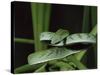 Long-Nose Vine Snake (Ahaetulla Prasina), in Captivity, from Southeast Asia, Asia-James Hager-Stretched Canvas Print
