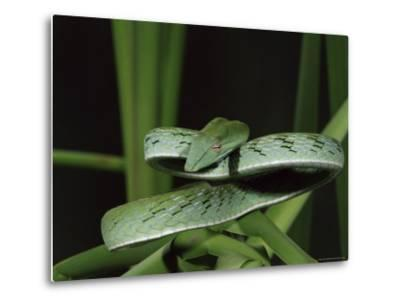 Long-Nose Vine Snake (Ahaetulla Prasina), in Captivity, from Southeast Asia, Asia-James Hager-Metal Print
