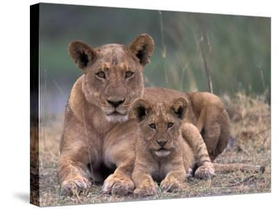 Lions, Okavango Delta, Botswana-Art Wolfe-Stretched Canvas Print