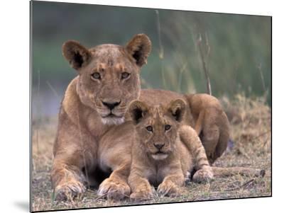 Lions, Okavango Delta, Botswana-Art Wolfe-Mounted Photographic Print