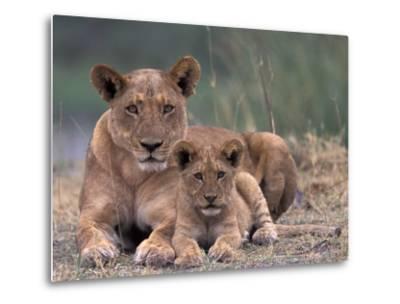 Lions, Okavango Delta, Botswana-Art Wolfe-Metal Print