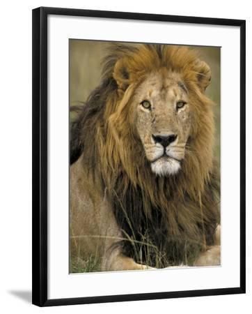 Portrait of a Lion, Kenya-Art Wolfe-Framed Photographic Print