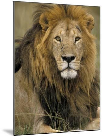 Portrait of a Lion, Kenya-Art Wolfe-Mounted Photographic Print