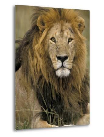 Portrait of a Lion, Kenya-Art Wolfe-Metal Print