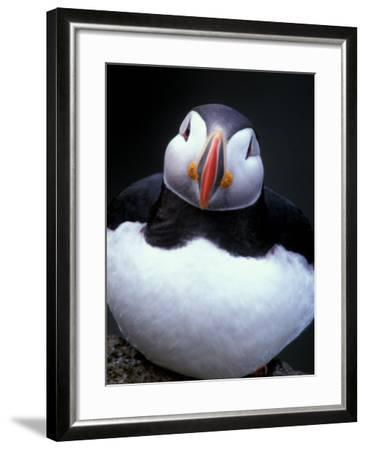 Atlantic Puffin, Iceland-Art Wolfe-Framed Photographic Print