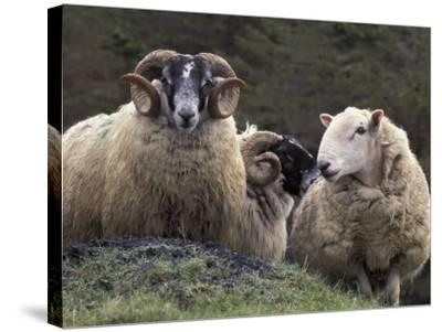 Sheep, Isle of Skye, Scotland-Art Wolfe-Stretched Canvas Print