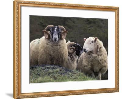 Sheep, Isle of Skye, Scotland-Art Wolfe-Framed Photographic Print