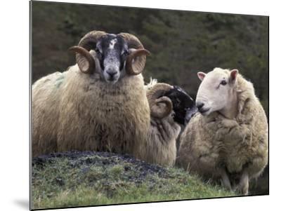 Sheep, Isle of Skye, Scotland-Art Wolfe-Mounted Photographic Print