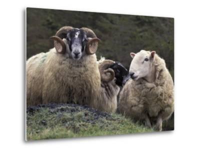 Sheep, Isle of Skye, Scotland-Art Wolfe-Metal Print