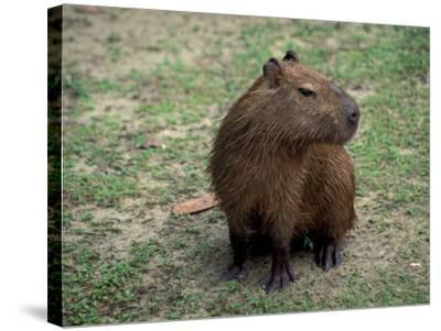 Capybara, South America-Art Wolfe-Stretched Canvas Print