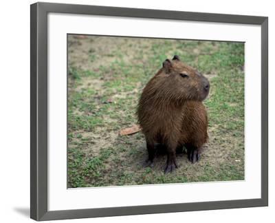 Capybara, South America-Art Wolfe-Framed Photographic Print