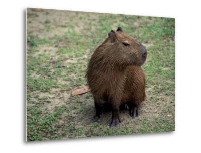 Capybara, South America-Art Wolfe-Metal Print