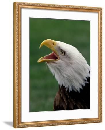 Bald Eagle-Art Wolfe-Framed Photographic Print