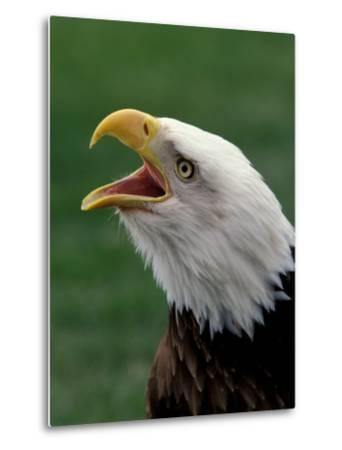 Bald Eagle-Art Wolfe-Metal Print