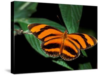 Butterfly, Venezuela-Art Wolfe-Stretched Canvas Print