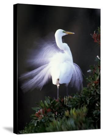 Egret Breeding Plumage, Venice, Florida, USA-Art Wolfe-Stretched Canvas Print