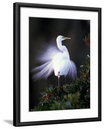 Egret Breeding Plumage, Venice, Florida, USA-Art Wolfe-Framed Photographic Print