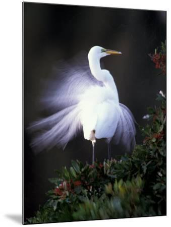 Egret Breeding Plumage, Venice, Florida, USA-Art Wolfe-Mounted Photographic Print