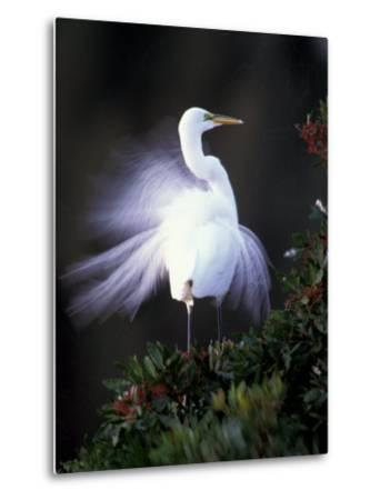 Egret Breeding Plumage, Venice, Florida, USA-Art Wolfe-Metal Print