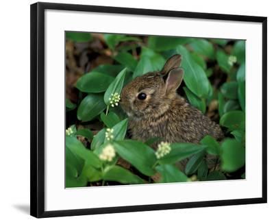 Immature Cottontail Rabbit, New York, USA-Art Wolfe-Framed Photographic Print