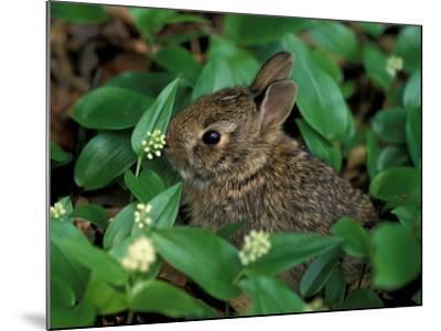 Immature Cottontail Rabbit, New York, USA-Art Wolfe-Mounted Photographic Print