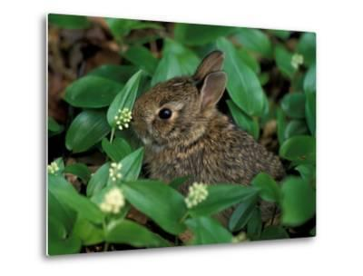 Immature Cottontail Rabbit, New York, USA-Art Wolfe-Metal Print