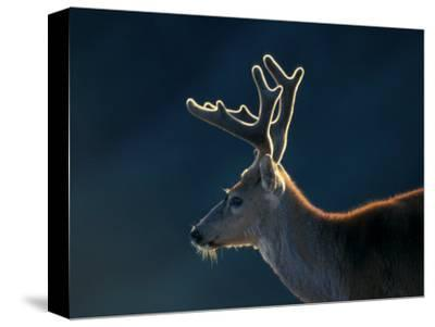 Blacktail or Mule Deer, Olympic National Park, Washington, USA-Art Wolfe-Stretched Canvas Print