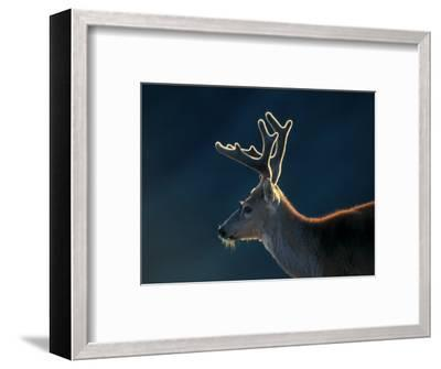Blacktail or Mule Deer, Olympic National Park, Washington, USA-Art Wolfe-Framed Photographic Print