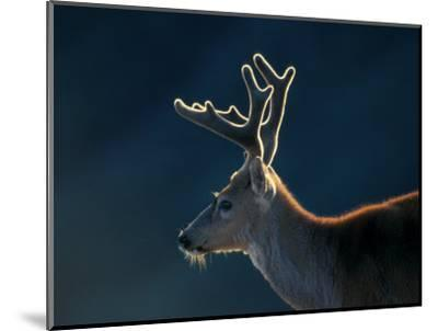 Blacktail or Mule Deer, Olympic National Park, Washington, USA-Art Wolfe-Mounted Photographic Print