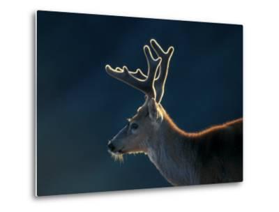 Blacktail or Mule Deer, Olympic National Park, Washington, USA-Art Wolfe-Metal Print