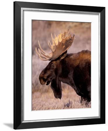 Bull Moose, Grand Teton National Park, Wyoming, USA-Art Wolfe-Framed Photographic Print