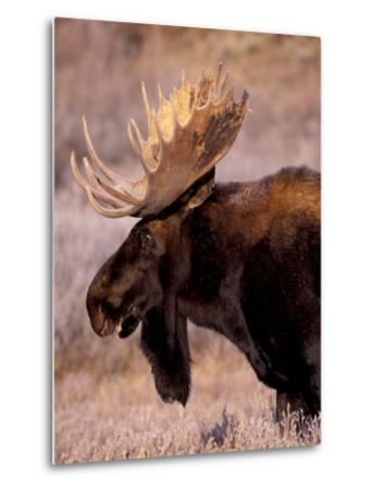 Bull Moose, Grand Teton National Park, Wyoming, USA-Art Wolfe-Metal Print