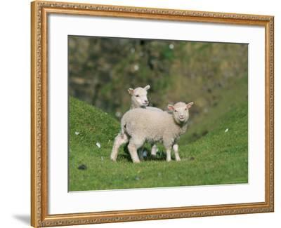 Two Lambs in June, Shetland Islands, Scotland, UK, Europe-David Tipling-Framed Photographic Print