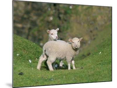 Two Lambs in June, Shetland Islands, Scotland, UK, Europe-David Tipling-Mounted Photographic Print