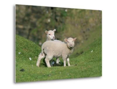 Two Lambs in June, Shetland Islands, Scotland, UK, Europe-David Tipling-Metal Print