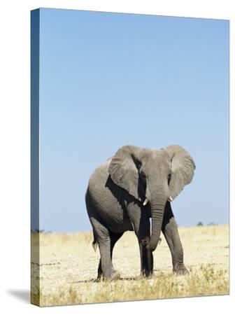 Bull African Elephants, Loxodonta Africana, Etosha National Park, Namibia, Africa-Ann & Steve Toon-Stretched Canvas Print