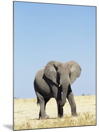 Bull African Elephants, Loxodonta Africana, Etosha National Park, Namibia, Africa-Ann & Steve Toon-Mounted Photographic Print