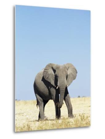 Bull African Elephants, Loxodonta Africana, Etosha National Park, Namibia, Africa-Ann & Steve Toon-Metal Print