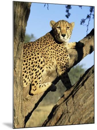 Cheetah, Acinonyx Jubartus, Sitting in Tree, in Captivity, Namibia, Africa-Ann & Steve Toon-Mounted Photographic Print
