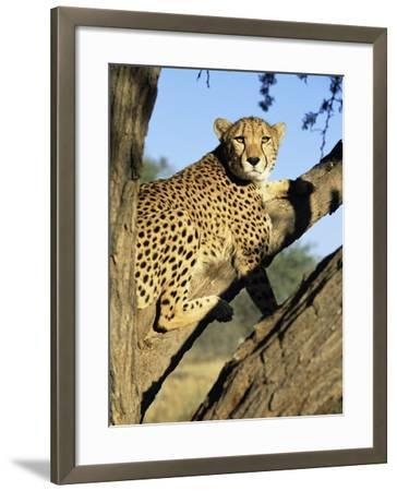 Cheetah, Acinonyx Jubartus, Sitting in Tree, in Captivity, Namibia, Africa-Ann & Steve Toon-Framed Photographic Print