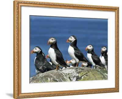 Puffins (Fratercula Arctica), Farne Islands, off Northumbria, England, United Kingdom, Europe-Ann & Steve Toon-Framed Photographic Print