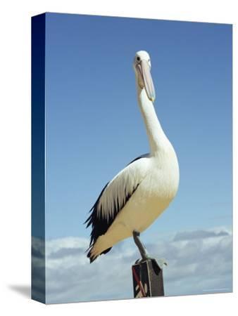 Australian Pelican, Pelecanus Conspicillatus, Shark Bay, Western Australia, Australia, Pacific-Ann & Steve Toon-Stretched Canvas Print