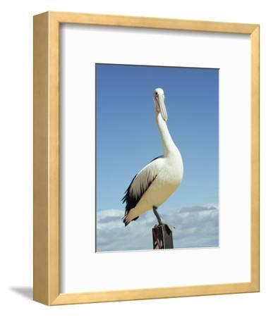 Australian Pelican, Pelecanus Conspicillatus, Shark Bay, Western Australia, Australia, Pacific-Ann & Steve Toon-Framed Photographic Print