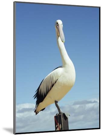 Australian Pelican, Pelecanus Conspicillatus, Shark Bay, Western Australia, Australia, Pacific-Ann & Steve Toon-Mounted Photographic Print