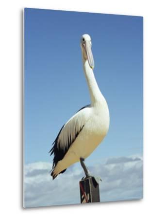 Australian Pelican, Pelecanus Conspicillatus, Shark Bay, Western Australia, Australia, Pacific-Ann & Steve Toon-Metal Print