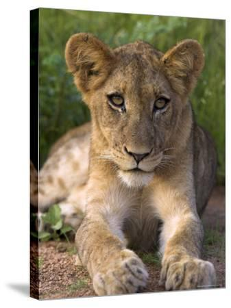 Lion Cub, Panthera Leo, in Kruger National Park Mpumalanga, South Africa-Ann & Steve Toon-Stretched Canvas Print